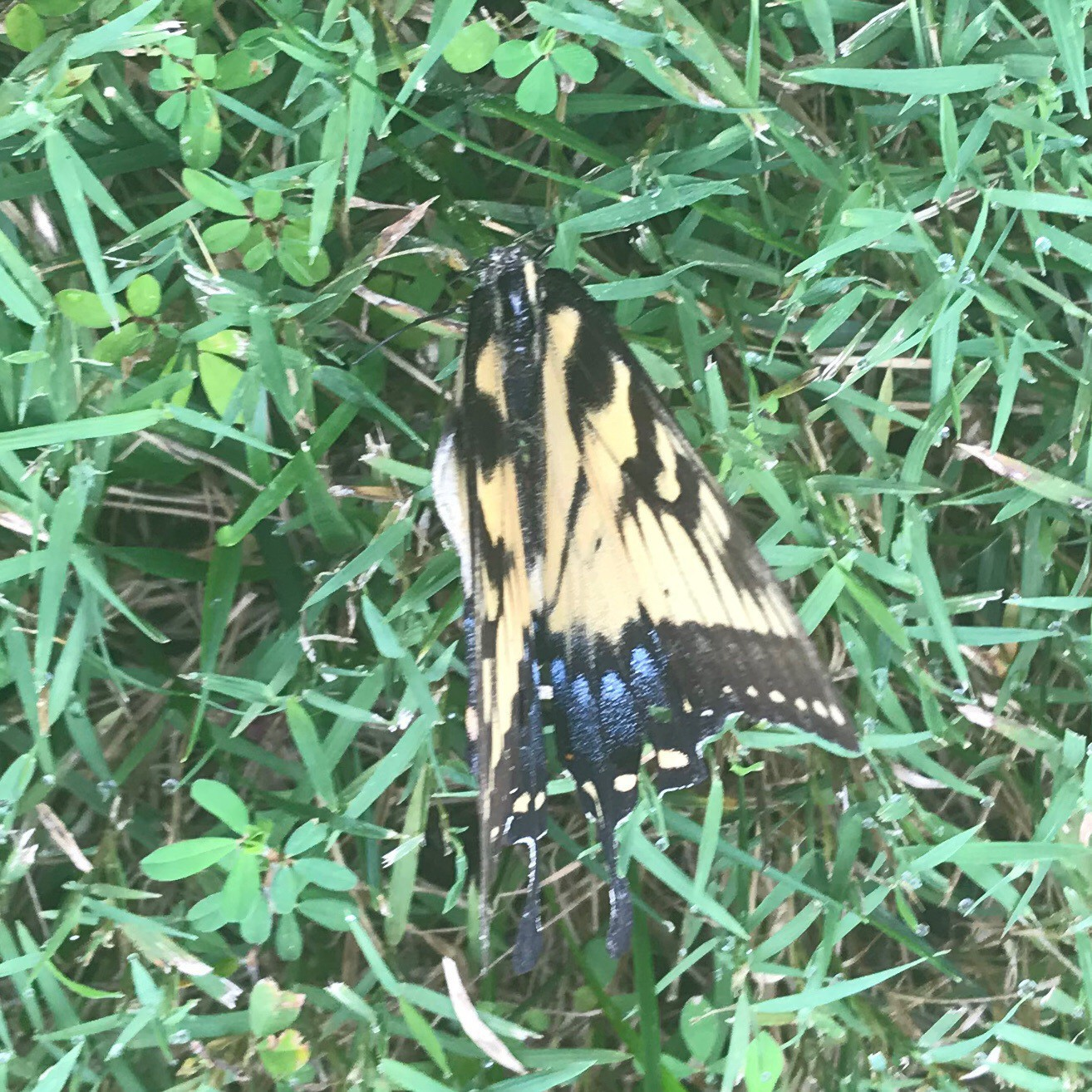 Butterfly found expired on Grass : 'Fluttered Bye'