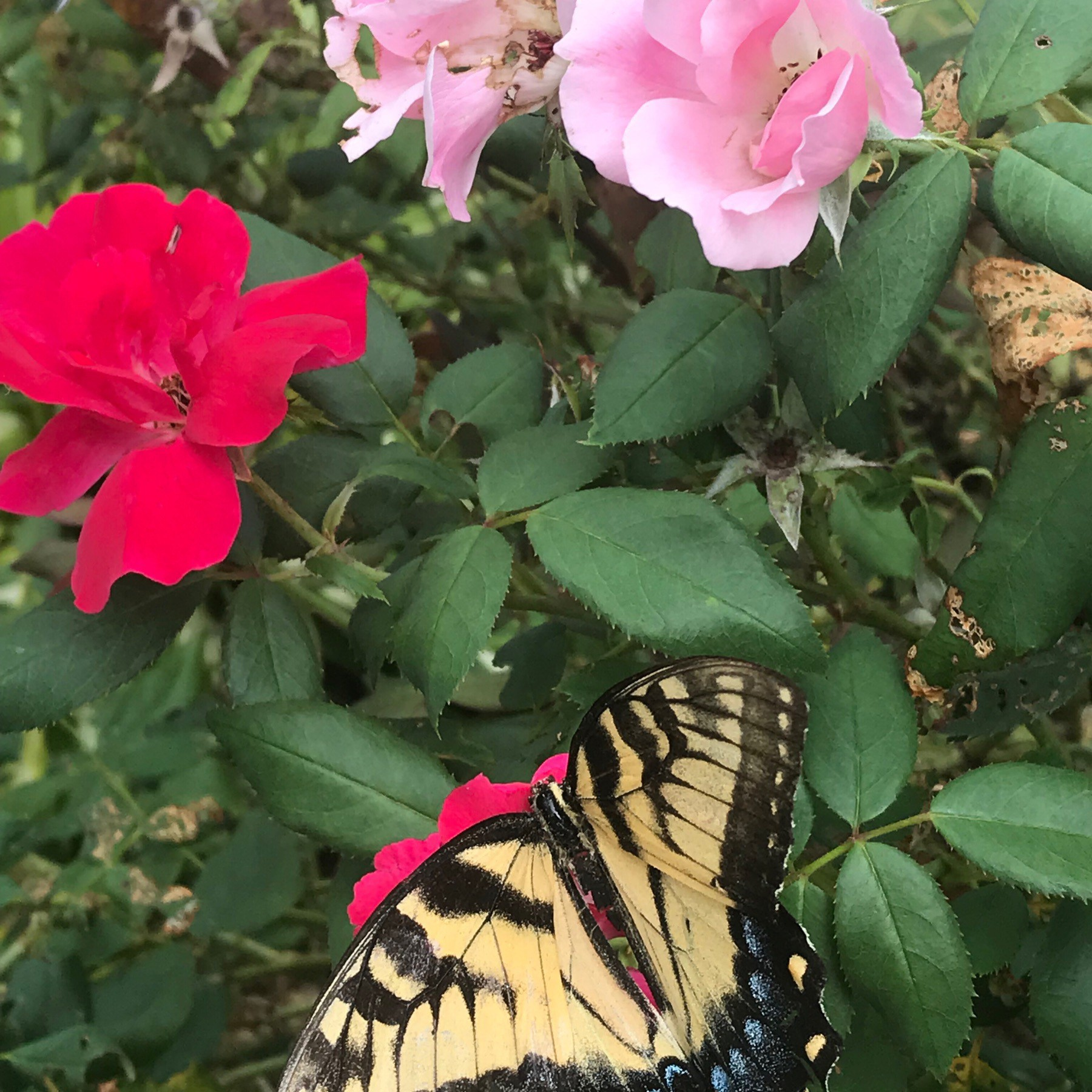 'Fluttered Bye' staged to contrast yellow & black wings with blue spots against white, pink, and red roses